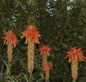 Sluit omhoog van de bloemhoofden van Aloëvera van Turgutreis, Turkije stock afbeelding
