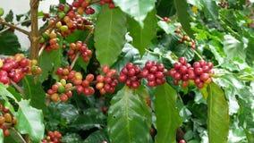 Sluit omhoog van de bonen van de kersenkoffie op de tak van koffieinstallatie alvorens te oogsten stock video