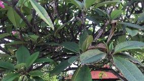 Sluit omhoog van de boom van plumeriafrangipani in de Balinese tuin Tropisch Eiland Bali, Indonesië stock video