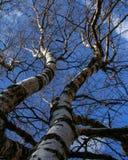 Sluit omhoog van de boomstam en de takken van berk Royalty-vrije Stock Foto's