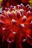 Sluit omhoog van de donkerrode bloemblaadjes van de asterbloem Royalty-vrije Stock Fotografie