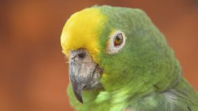 Sluit omhoog van de Gele bekroonde papegaai van Amazoni? 4k klem stock footage