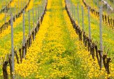 Sluit omhoog van de gele Turkse tulp door oude wijnstok in wijngaard Stock Foto's
