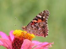 De geschilderde vlinder van de Dame op bloem Royalty-vrije Stock Afbeelding