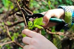 Sluit omhoog van de hand scherpe tak van de baby in zijn tuin De tak van de handbesnoeiingen van de tuinman van van struik met he stock afbeeldingen