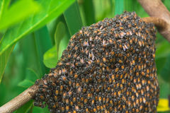 Sluit omhoog van de het werk bijen met honingscellen op boom Stock Foto's