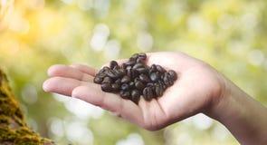 Sluit omhoog van de koffiebonen van de persoonsholding in handen Stock Foto's