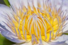 Sluit omhoog van de lotusbloem Royalty-vrije Stock Foto's