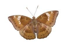 Sluit omhoog van de mannelijke vlinder van de mangobaron op wit Stock Foto