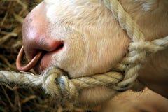 Sluit omhoog van de neus van een Hereford-stier, met een kabelteugel en een koperring door zijn neus Stock Afbeelding