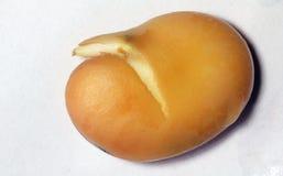 Sluit omhoog van de nieuwe spruitgroei germinatie Royalty-vrije Stock Fotografie