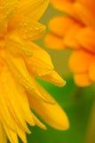 Sluit omhoog van de oranje bloemenbloemblaadjes Royalty-vrije Stock Foto's
