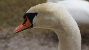 Sluit omhoog van de oranje neus van het zwaangezicht stock fotografie