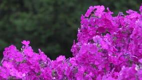Sluit omhoog van de purpere struik van de bloemflox in regen bij de zomer 4K stock footage