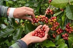 Sluit omhoog van de rode bonen van de bessenkoffie Stock Afbeeldingen