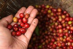 Sluit omhoog van de rode bonen van de bessenkoffie Royalty-vrije Stock Fotografie