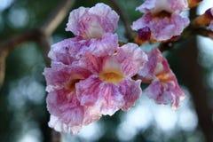 Sluit omhoog van de roze bloem van de trompetboom Royalty-vrije Stock Afbeeldingen
