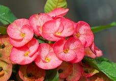 Sluit omhoog van de Roze bloem van Wolfsmelkmilii Stock Afbeeldingen
