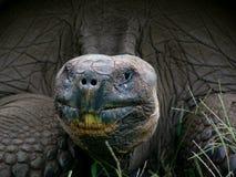 Sluit omhoog van de Schildpad van het Land van de Galapagos Royalty-vrije Stock Afbeelding