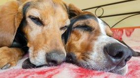 Sluit omhoog van de slaap van het hondpaar zij aan zij Een grappig leuk ogenblik stock videobeelden