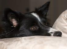 Sluit omhoog van de snuit van border collie-puppy het ontspannen op de laag Royalty-vrije Stock Foto's