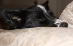 Sluit omhoog van de snuit van border collie-puppy het ontspannen op de laag Stock Afbeeldingen