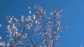 Sluit omhoog van de takken en de hommel van de sakuraboom in het park in de zomerdag stock footage