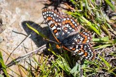 Sluit omhoog van de vlinder van Baaicheckerspot (bayensis van Euphydryas Editha); geclassificeerd als federaal bedreigde species, stock fotografie