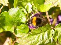 sluit omhoog van de zwarte en gele bijen macrolente op blad royalty-vrije stock foto's