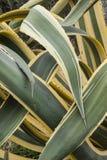 Sluit omhoog van doorschoten bladeren van agave americana marginata stock foto's