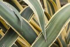 Sluit omhoog van doorschoten bladeren van agave americana marginata stock afbeeldingen