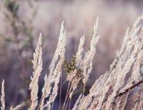 Sluit omhoog van droog zacht gras met in de vroege ochtend, Abstract n Royalty-vrije Stock Foto