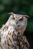 Sluit omhoog van Eagle Owl met Oranje Ogen Bubo Bubo stock afbeelding