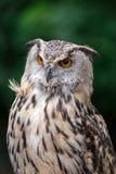 Sluit omhoog van Eagle Owl met Oranje Ogen Bubo Bubo royalty-vrije stock afbeeldingen