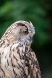 Sluit omhoog van Eagle Owl met Oranje Ogen Bubo Bubo stock foto's