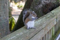 Sluit omhoog van eekhoorn die op een houten traliewerk eten Royalty-vrije Stock Afbeelding