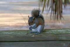 Sluit omhoog van eekhoorn die op een houten traliewerk eten royalty-vrije stock fotografie