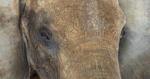 Sluit omhoog van een Afrikaanse olifant Royalty-vrije Stock Afbeeldingen