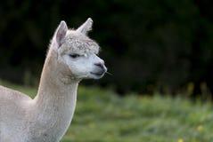 Sluit omhoog van een Alpaca, kauwend één enkel grassprietje Stock Foto