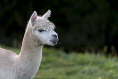 Sluit omhoog van een Alpaca, kauwend één enkel grassprietje Stock Afbeeldingen