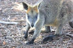 Sluit omhoog van een Australische Wallaby in struik Stock Afbeelding