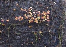 Sluit omhoog van een bakstenen muur met kleurrijke bladeren en takjes wordt behandeld dat Royalty-vrije Stock Afbeeldingen