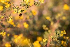 Sluit omhoog van een bij op gele bloemen en groene bladeren wordt gesteld dat stock afbeeldingen