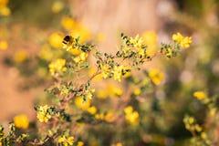 Sluit omhoog van een bij op gele bloemen en groene bladeren wordt gesteld dat royalty-vrije stock foto's
