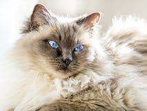 Sluit omhoog van een blauwe kat van colorpointragdoll stock afbeelding