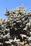 Sluit omhoog van een blauwe nette boom met blauwe hemel stock foto's