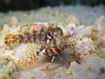 Sluit omhoog van een blenny vis van Tompot Royalty-vrije Stock Fotografie