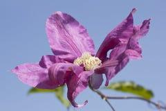 Sluit omhoog van een bloem van Clematissenpillu Royalty-vrije Stock Foto's