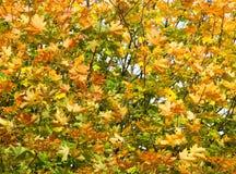 Sluit omhoog van een boom in de vroege herfst Royalty-vrije Stock Afbeelding