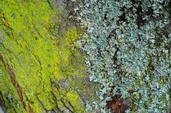 Vorm en mos op een boomboomstam Stock Afbeeldingen